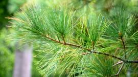 4K Pine Branches Needles Wallpaper HQ