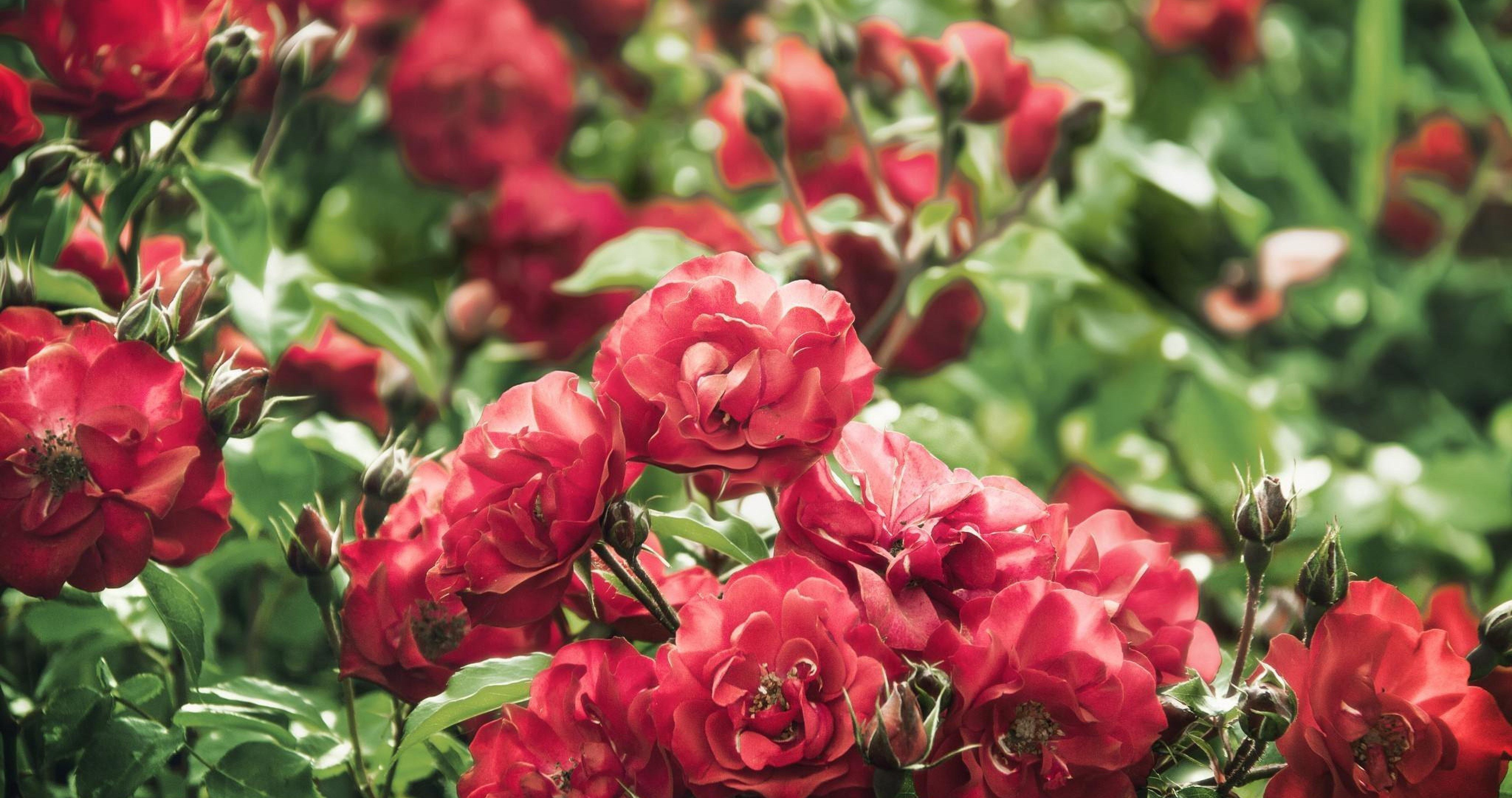 4k Rose Bush Wallpapers High Quality Download Free