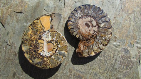 Ammonite wallpapers high quality