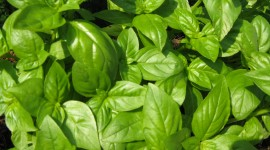 Basil Wallpaper Download Free