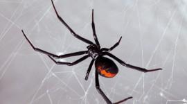 Black Widow Spider Desktop Wallpaper