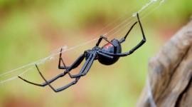 Black Widow Spider Desktop Wallpaper HD