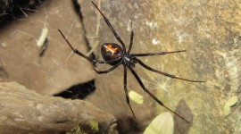 Black Widow Spider High Quality Wallpaper