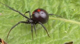 Black Widow Spider Wallpaper Download