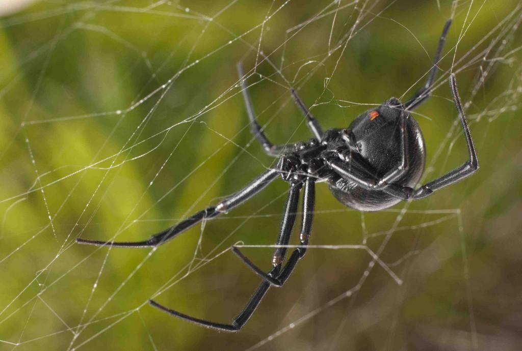 Black Widow Spider wallpapers HD