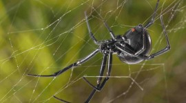 Black Widow Spider Wallpaper Download Free