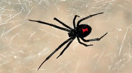 Black Widow Spider Wallpaper For Desktop