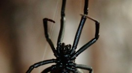 Black Widow Spider Wallpaper For IPhone