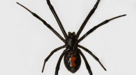 Black Widow Spider Wallpaper For IPhone Download