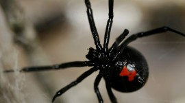 Black Widow Spider Wallpaper For IPhone Free