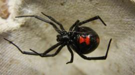 Black Widow Spider Wallpaper Free