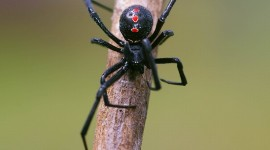 Black Widow Spider Wallpaper HD