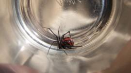 Black Widow Spider Wallpaper High Definition