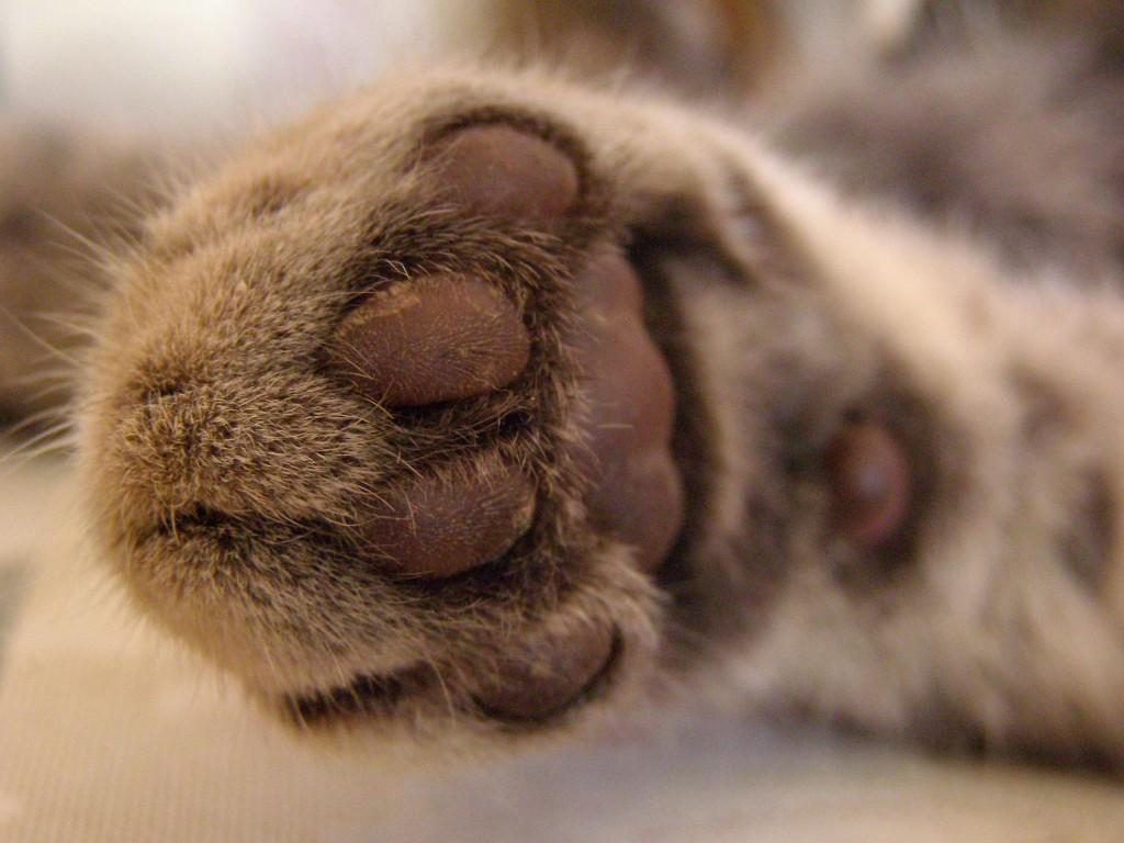 Cat's Foot wallpapers HD