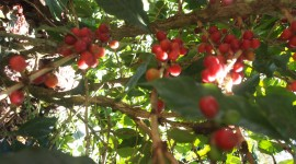 Coffee Fruit Branches Desktop Wallpaper