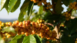 Coffee Fruit Branches Image Download