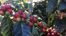 Coffee Fruit Branches Photo