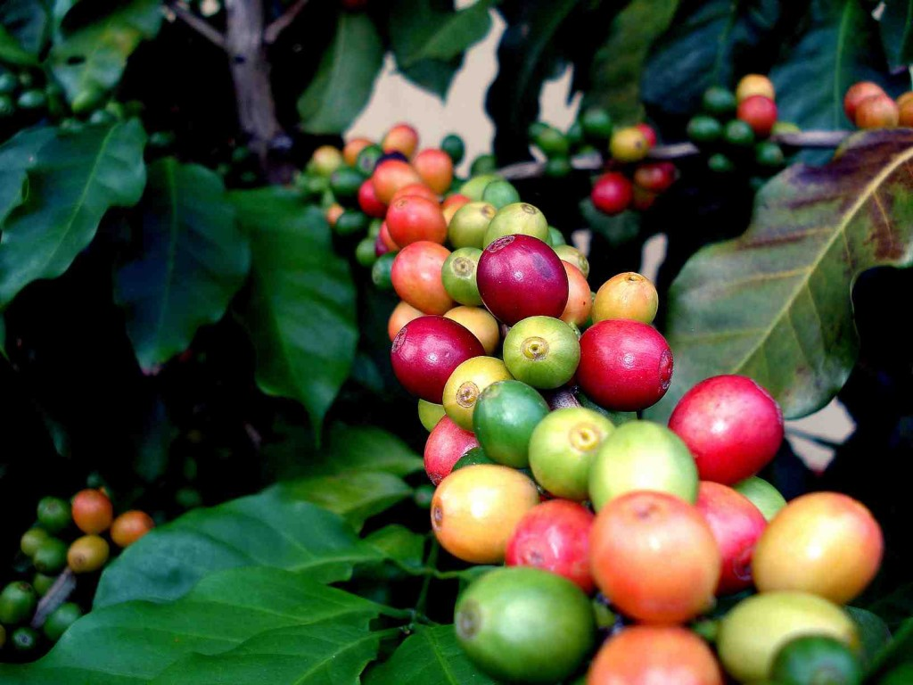 Coffee Fruit Branches wallpapers HD