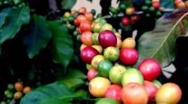 Coffee Fruit Branches Wallpaper