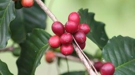Coffee Fruit Branches Wallpaper For IPhone