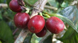 Coffee Fruit Branches Wallpaper For PC