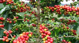 Coffee Fruit Branches Wallpaper Free