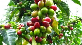 Coffee Fruit Branches Wallpaper Gallery