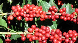 Coffee Fruit Branches Wallpaper HQ