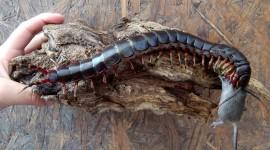 Giant Centipedes Desktop Wallpaper HD