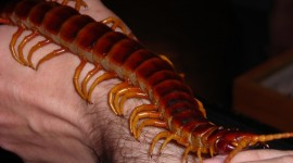 Giant Centipedes Photo Download