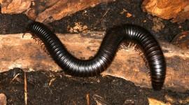Giant Centipedes Wallpaper For Desktop