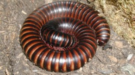 Giant Centipedes Wallpaper Gallery