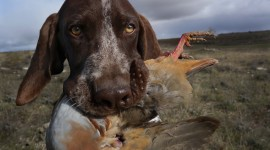 Hunting Dog Desktop Wallpaper
