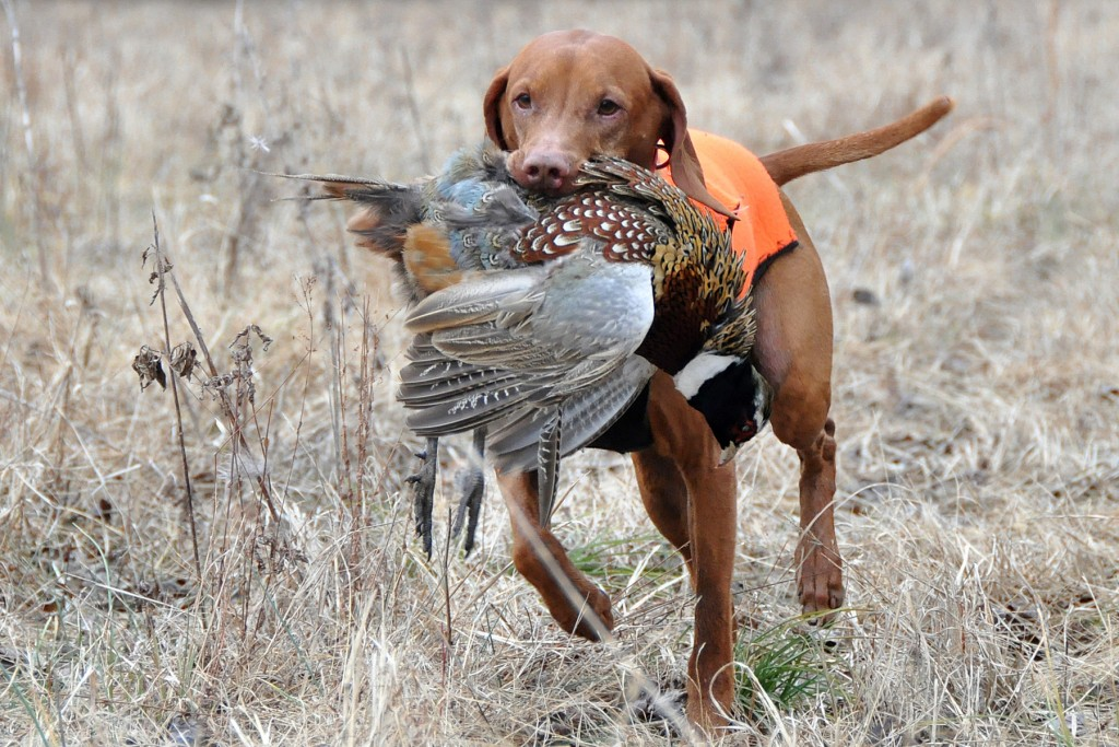 Hunting Dog wallpapers HD
