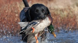 Hunting Dog Wallpaper 1080p