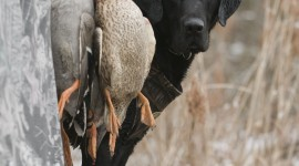 Hunting Dog Wallpaper Background