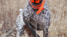 Hunting Dog Wallpaper Download Free