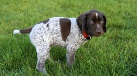 Hunting Dog Wallpaper Gallery