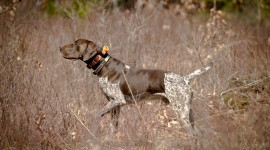 Hunting Dog Wallpaper HD