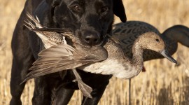 Hunting Dog Wallpaper HQ