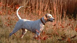Hunting Dog Wallpaper High Definition