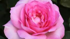 Long Roses Wallpaper Download