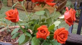 Long Roses Wallpaper Download Free
