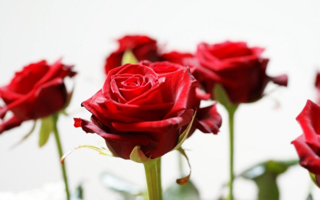 Long Roses wallpapers HD