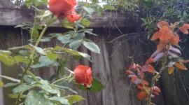 Long Roses Wallpaper For IPhone