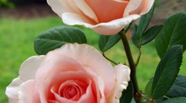 Long Roses Wallpaper For IPhone 6 Download