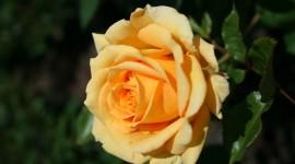Long Roses Wallpaper For IPhone 7
