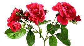 Long Roses Wallpaper High Definition