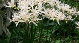 Lycoris Wallpaper For IPhone Download