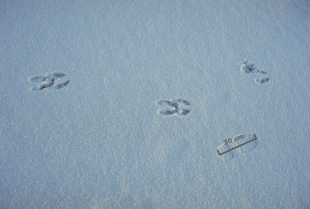 Moose Tracks wallpapers HD